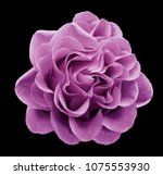 pink rose flower on the black... | Shutterstock . vector #1075553930