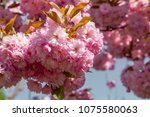cherry blossom in spring detail ... | Shutterstock . vector #1075580063