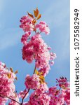 cherry blossom in spring detail ... | Shutterstock . vector #1075582949