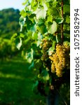wine grapes on vine stock at...   Shutterstock . vector #1075582994