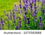 butterfly on purple lavender... | Shutterstock . vector #1075583888