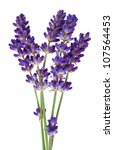 Stock photo  lavender flower isolated on white 107564453