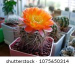 Small photo of Blossoming rare cactus called Acanthocalycium glaucum