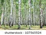 Birch Grove In July