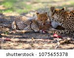 Mother and cub (Acinonyx jubatus) at prey. Cheetahs feed on the hunted springbock.Cheetah in the desert.