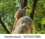 meerkats in the zoo | Shutterstock . vector #1075657088