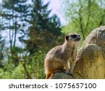meerkats in the zoo | Shutterstock . vector #1075657100