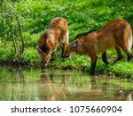 maned wolves in the zoo | Shutterstock . vector #1075660904