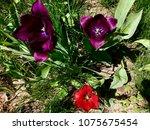 colorful tulips garden | Shutterstock . vector #1075675454