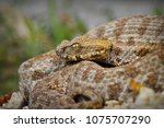 close up of rare milos viper  ... | Shutterstock . vector #1075707290