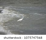 great white egret wading on the ... | Shutterstock . vector #1075747568