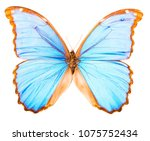 morpho didius is a large blue... | Shutterstock . vector #1075752434