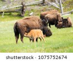 mother buffalo  bison bison  is ... | Shutterstock . vector #1075752674