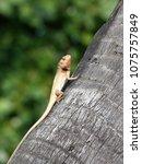 lizard basking on coconut tree... | Shutterstock . vector #1075757849