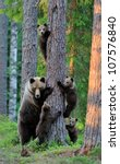 Brown Bear With Cubs In Forest...
