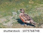 Small photo of American Wigeon (Anas americana) in Bolsa Chica Ecological Reserve, California, USA