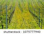 vineyards in mosel valley ... | Shutterstock . vector #1075777940