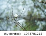 Small photo of Blossom tree over nature background. Spring flowers. Spring Background. magnolia branch in sunny morning. Beautiful white magnolias on blue sky background. in botanical garden blossom magnolia