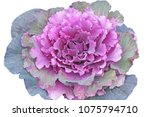 Isolated Purple Cabbage  ...