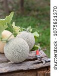 fresh melons or green melons or ...   Shutterstock . vector #1075831370