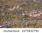 Small photo of The Crested Lark is well distinguished from other larks by the larger size and quite large crest on the head. Adult males and females are similar on color