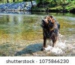 alsatian animal breeds dog... | Shutterstock . vector #1075866230