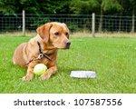 golden labrador lying in a... | Shutterstock . vector #107587556