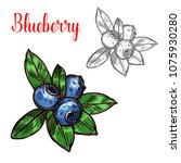 blueberry berry color sketch... | Shutterstock .eps vector #1075930280