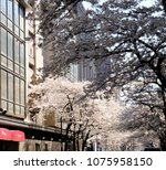 cherry blossoms at nihonbashi... | Shutterstock . vector #1075958150