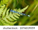 Short-stalked Damselfly (argia spp)  at Crex Meadows State Wildlife Area, Wisconsin