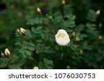 briar  brier  dog rose bud... | Shutterstock . vector #1076030753