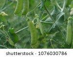 close up view of fresh green... | Shutterstock . vector #1076030786