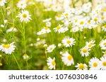 chamomile flowers field wide... | Shutterstock . vector #1076030846