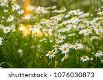 chamomile flowers in beautiful... | Shutterstock . vector #1076030873