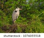 grey heron. ardea cinerea ... | Shutterstock . vector #1076055518