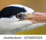 grey heron. ardea cinerea ... | Shutterstock . vector #1076055524