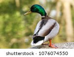 beautiful colorful duck closeup ... | Shutterstock . vector #1076074550