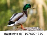 beautiful colorful duck closeup ... | Shutterstock . vector #1076074760