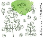 collection of moringa  plant ... | Shutterstock .eps vector #1076102966