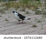 Small photo of a black and white pigeon hunts for food on a sidewalk dotted with grass growing up through the cracks; Lezhë, A.bania