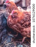 chickens on the farm. toned ... | Shutterstock . vector #1076129000