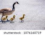 a canada goose  branta... | Shutterstock . vector #1076160719