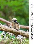 baby white cheeked gibbon or...   Shutterstock . vector #107616110