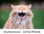 Very Funny Ginger Cat Laughing.