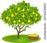 Lemon Tree And Fruits. Vector...