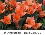 red tulips flowers. beautiful... | Shutterstock . vector #1076235779