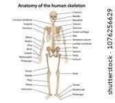 anatomy of the human skeleton... | Shutterstock .eps vector #1076256629