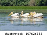 white pelicans in danube delta | Shutterstock . vector #107626958