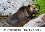 the grizzly bear also known as...   Shutterstock . vector #1076397350