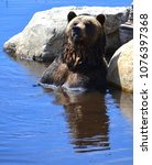 the grizzly bear also known as...   Shutterstock . vector #1076397368